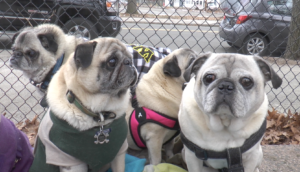 #THAT: Inside New Haven's pug meetup