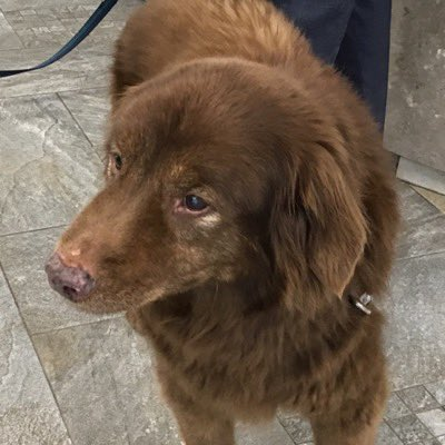 17 and deaf, this Chesapeake Bay Retriever was finally found. Photo courtesy: Chris Roush's Twitter, @QUSOCDean
